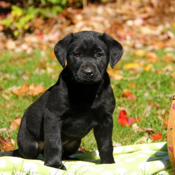 Labrador Retriever – Black Puppy