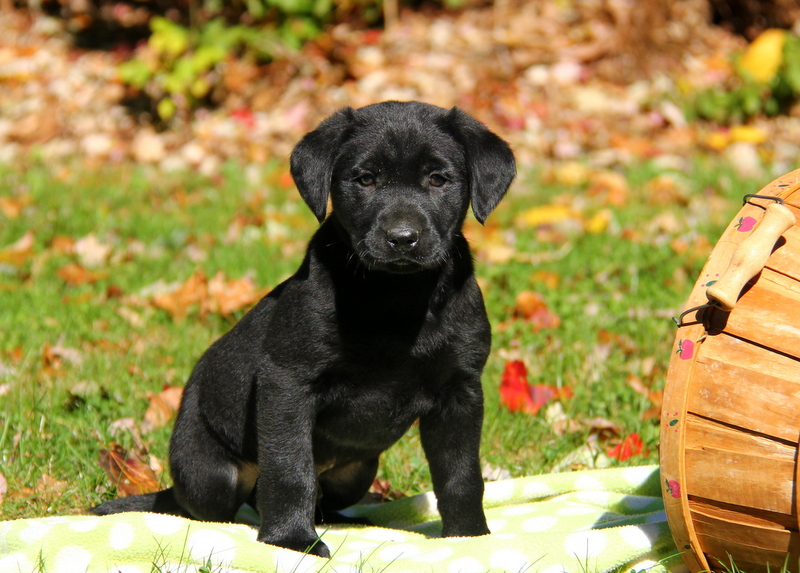 Black Labrador Retriever Puppies For Sale Greenfield Puppies