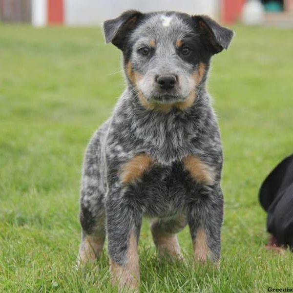 Blue Heeler – Australian Cattle Dog Puppy
