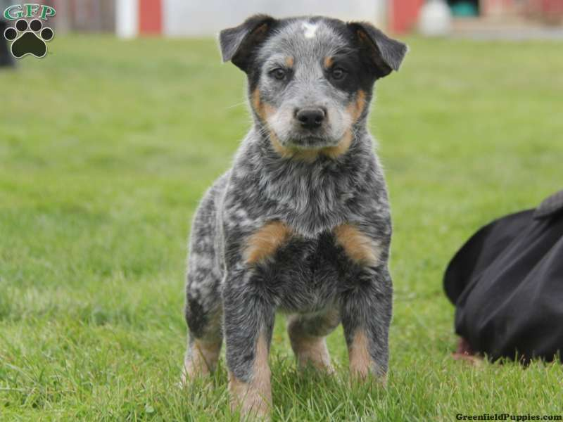 Blue Heelers For Sale : Blue heeler mix puppies for sale greenfield puppies
