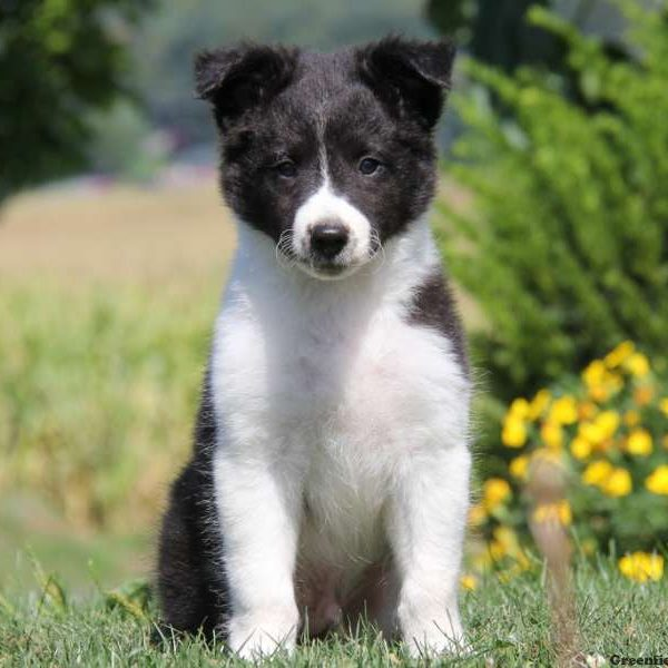 Border Collie Mix Puppy