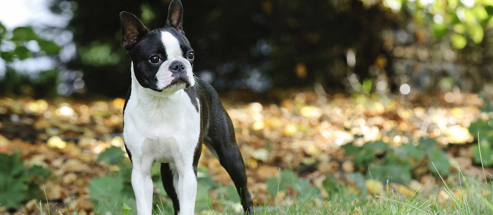 Boston Terrier Puppies For Sale | Greenfield Puppies