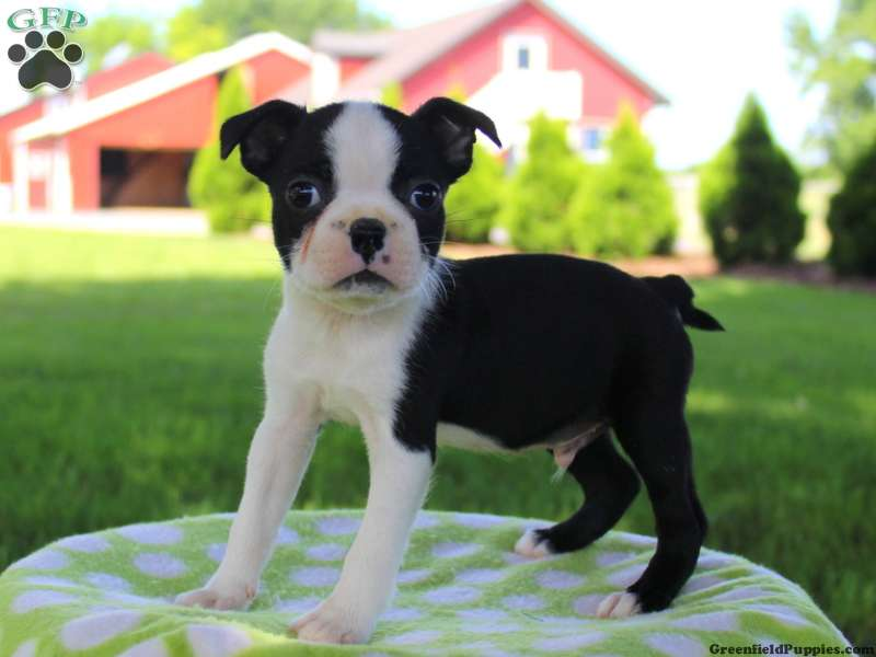 boston terrier texas boston terrier puppies for sale in pa 9676