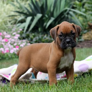 Boxer Puppies For Sale Boxer Dog Breed Info Greenfield