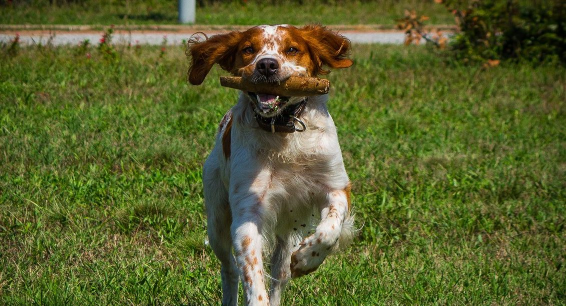 Brittany Spaniel Puppies For