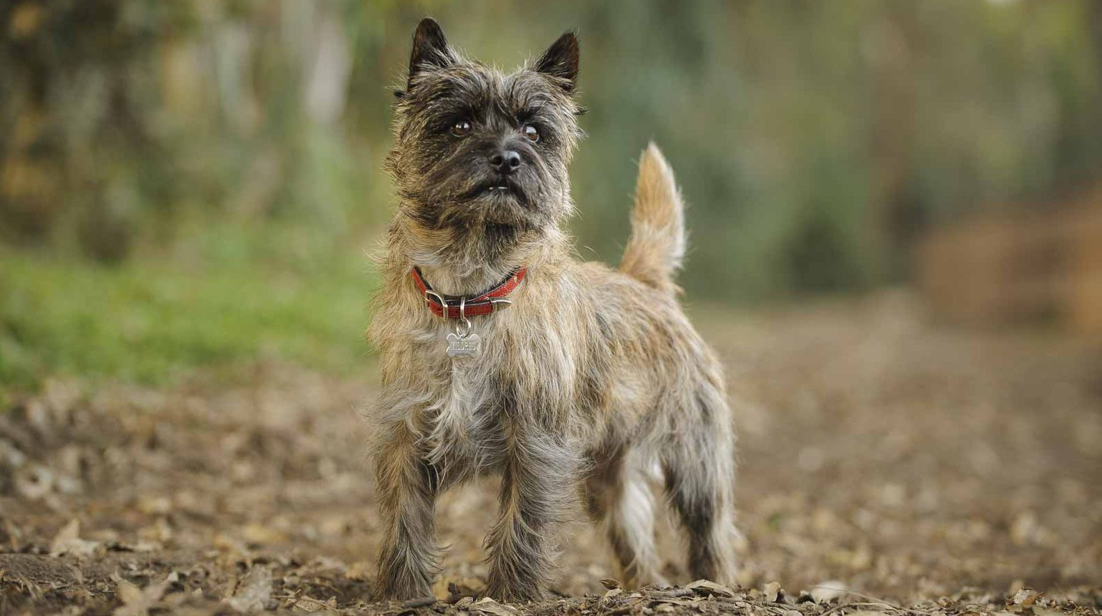 Cairn Terrier Puppies For Sale | Greenfield Puppies