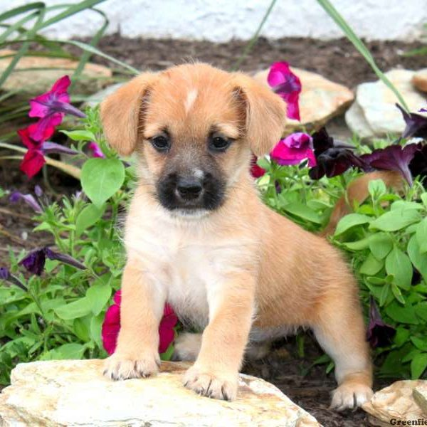 Cairn Terrier Mix Puppy