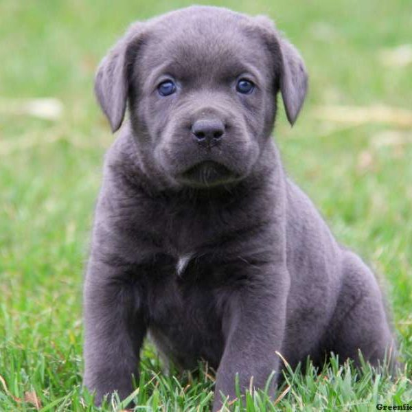 Current featured breed: Cane Corso