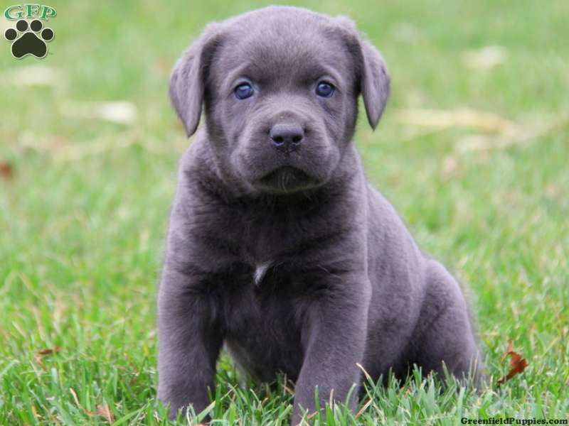 Cane Corso Puppies For Sale Cane Corso Dog Breed Info Greenfield