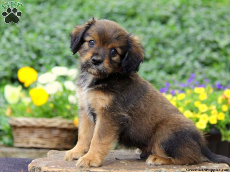 Cavapom Puppies For Sale Cavapom Breed Info Greenfield
