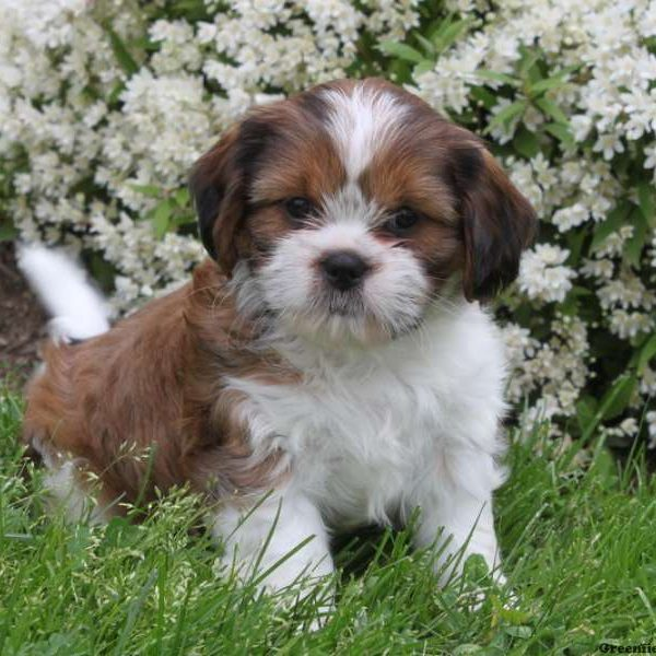 Cava Tzu Puppies For Sale Cava Tzu Dog Breed Info Greenfield Puppies