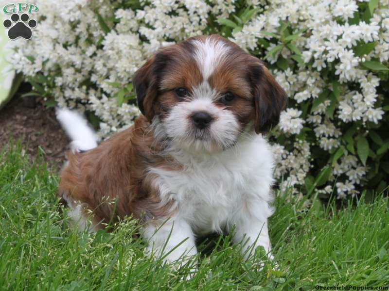 Cava Tzu Puppies For Sale Cava Tzu Breed Info Greenfield Puppies