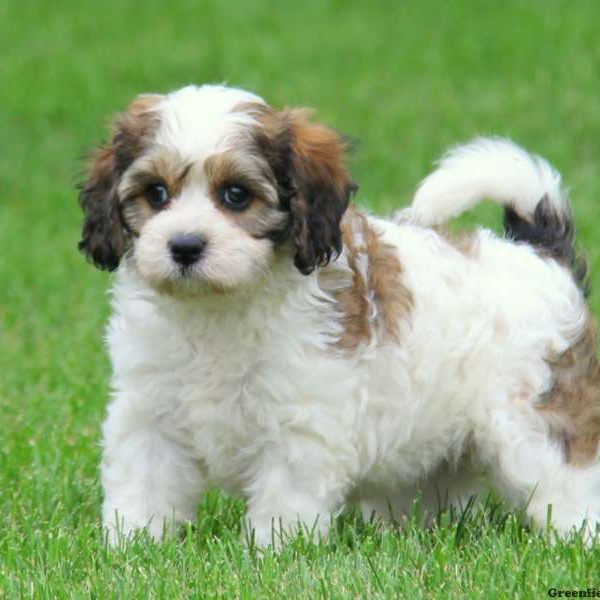 Cavachon Puppies For Sale - Cavachon Dog Breed | Greenfield