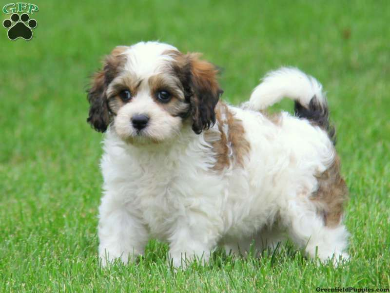 cavachon puppies for sale in de md ny nj philly dc and baltimore