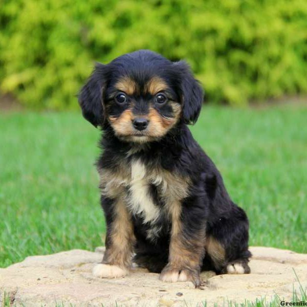 Berühmt Cavalier King Charles Mix Puppies For Sale | Greenfield Puppies &BH_68