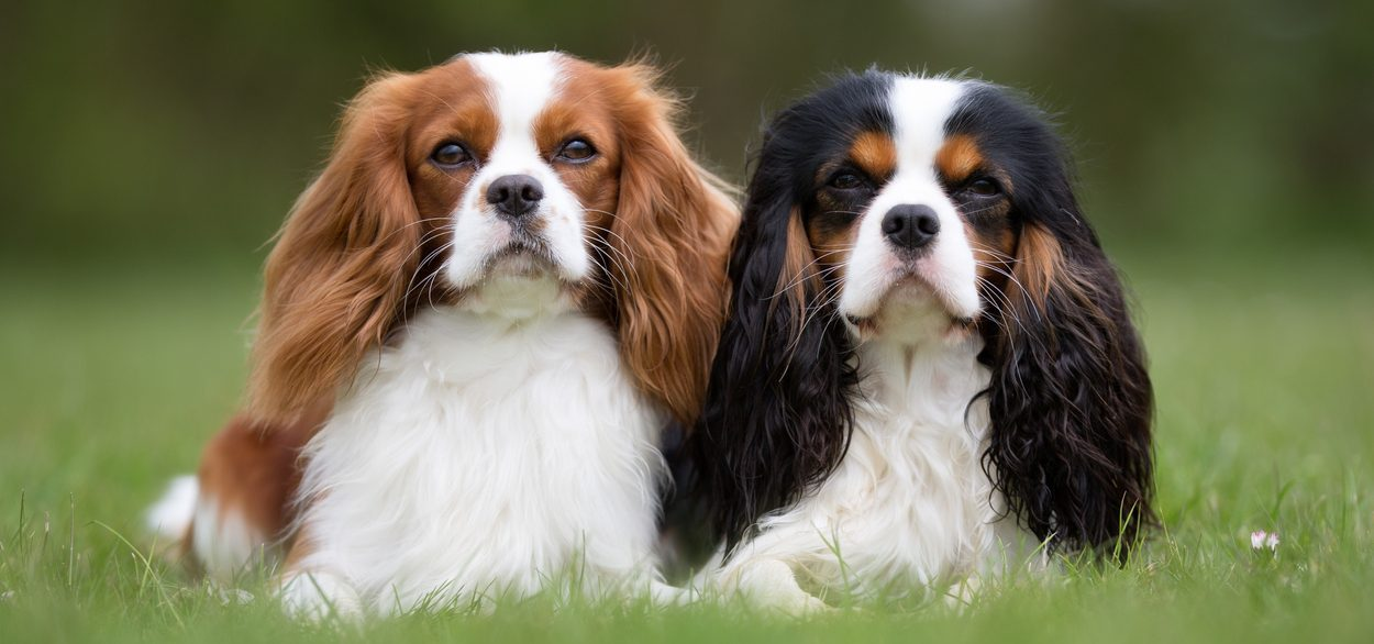 two adult cavalier king charles spaniels lying  in the grass