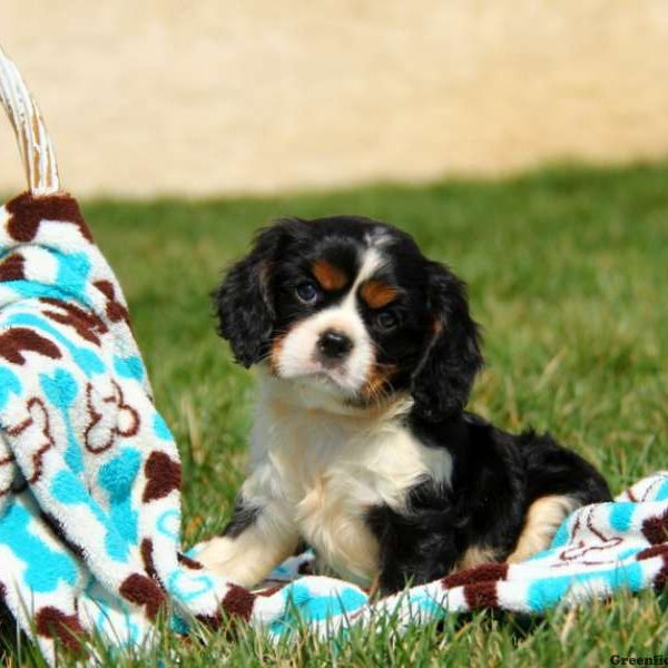Cavalier king charles spaniel puppies for sale greenfield puppies cavalier king charles spaniel altavistaventures Images