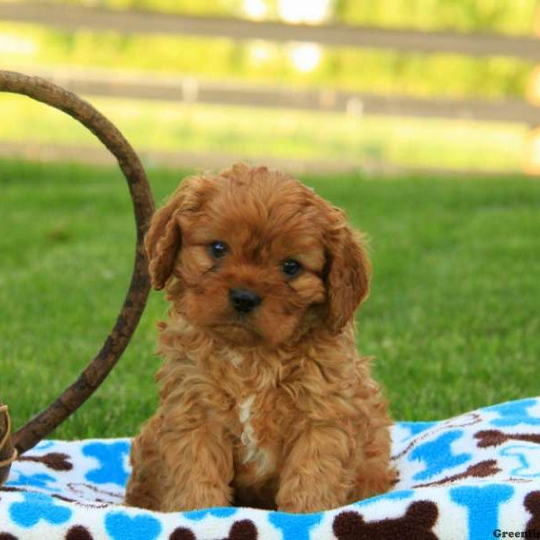 Cavapoo Puppies For Sale | Cavapoo Dog Breed Info