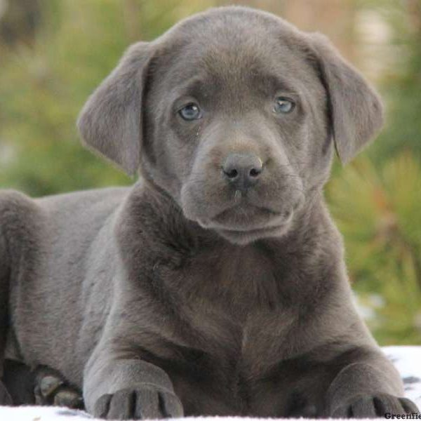 Labrador Retriever – Charcoal Puppy