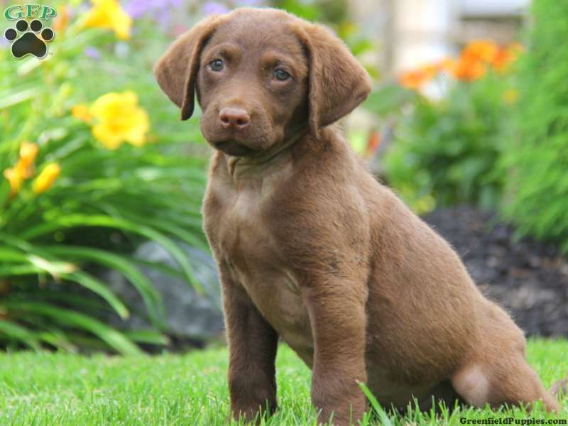 Chesapeake Bay Retriever Puppies For Sale Greenfield Puppies