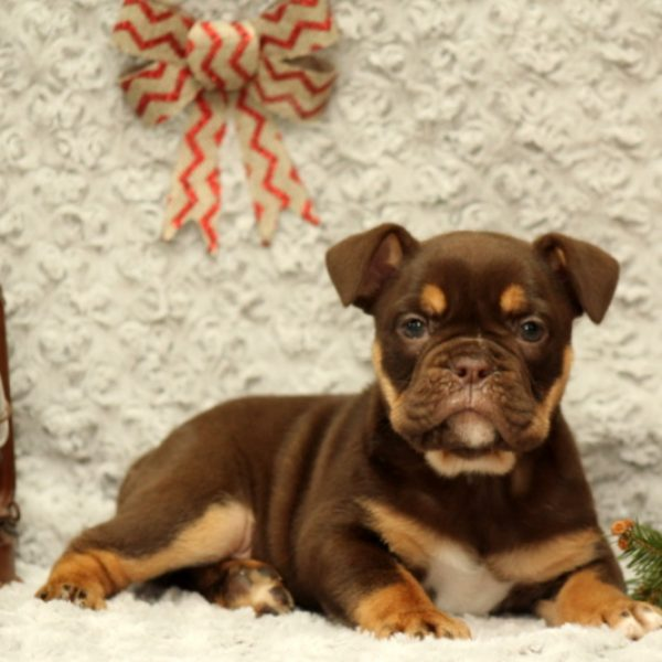 Olde English Bulldogge Puppies For Sale Greenfield Puppies