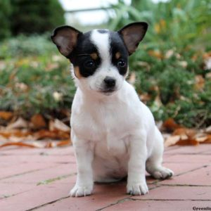 chihuahua jack terrier mix for sale chiweenie puppies for sale chiweenie breed info 4193