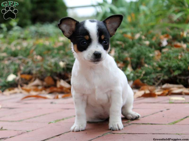Chihuahua Puppies For Sale - Chihuahua Breed Info | Greenfield Puppies