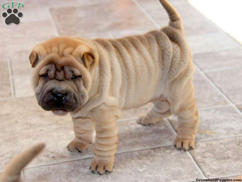Shar Pei Puppies For Greenfield