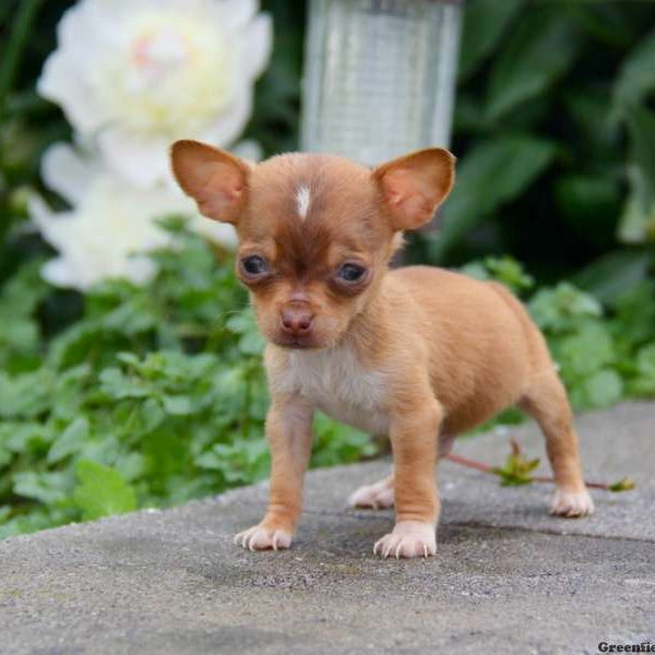 Chiweenie Puppies For Sale - Chiweenie Breed Info
