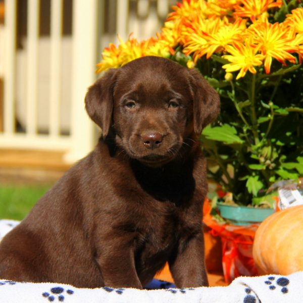 Labrador Retriever – Chocolate Puppy