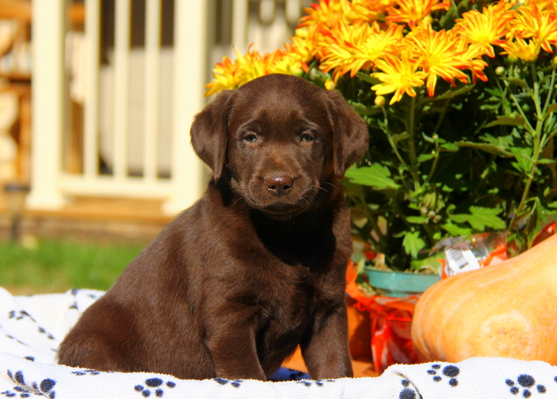 Chocolate Labrador Retriever Puppies For Sale Greenfield Puppies