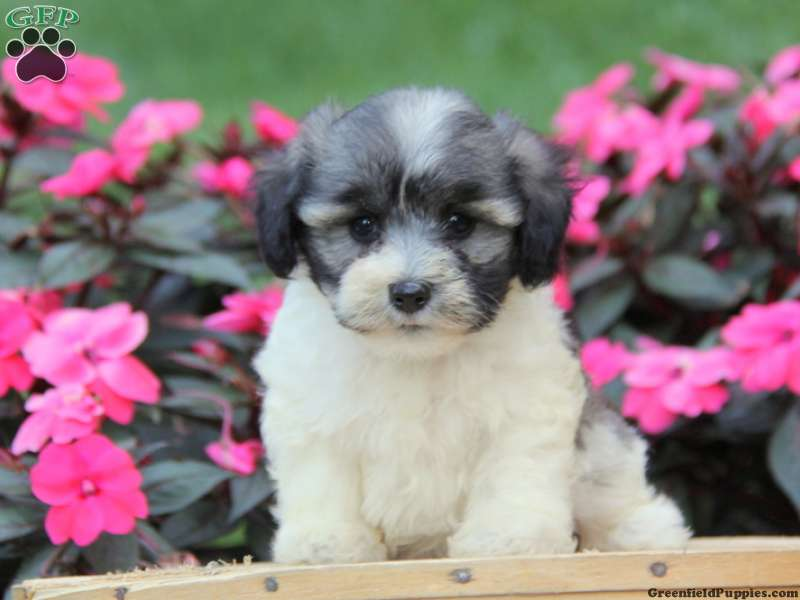 Chonzer Puppies For Sale Chonzer Dog Breed Info
