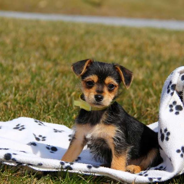 Chorkie Puppies For Sale Chorkie Dog Breed Info Greenfield Puppies