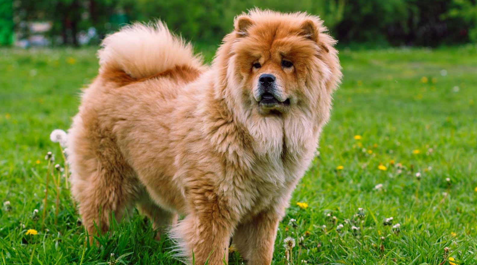Chow Chow Puppies for Sale - Chow Chow Dog Breed Info