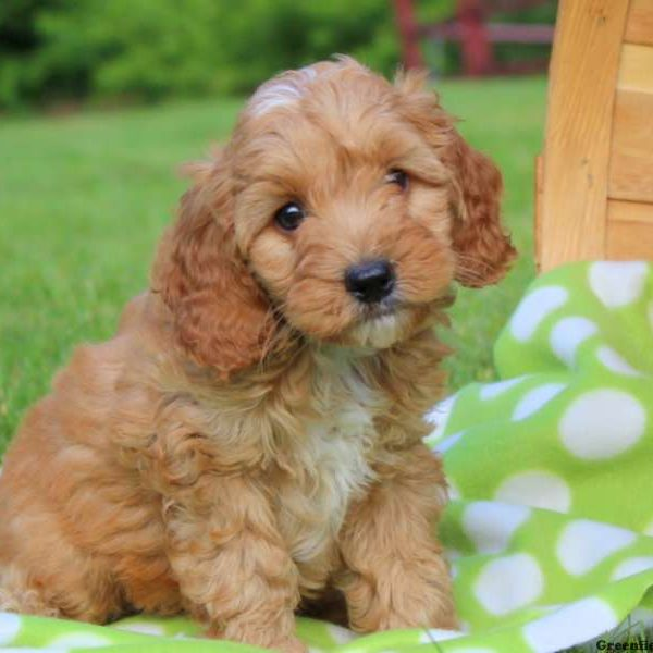 Cockapoo Puppies For Sale - Cockapoo Dog Breed Info -4052
