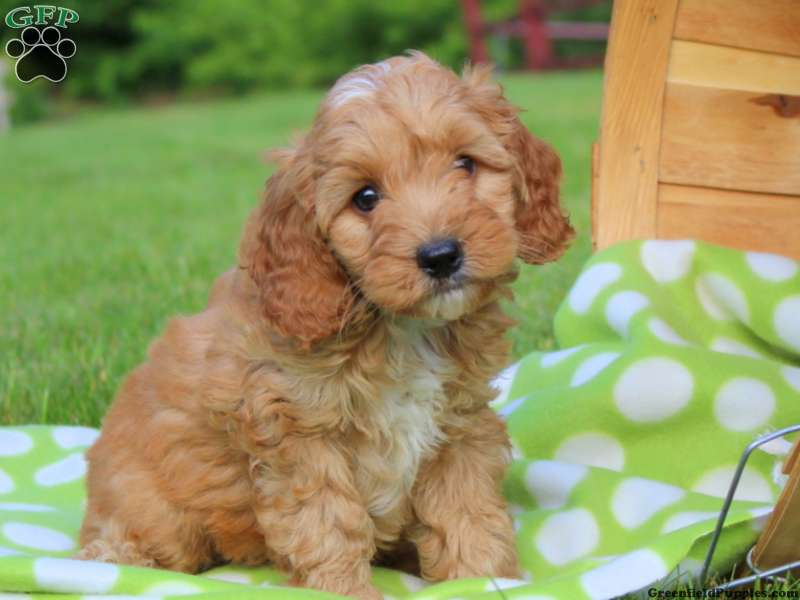 Cockapoo Puppies For Sale In De Md Ny Nj Philly Dc And