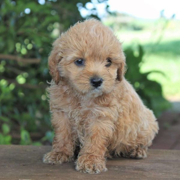 Cocker Spaniel Mix Puppy