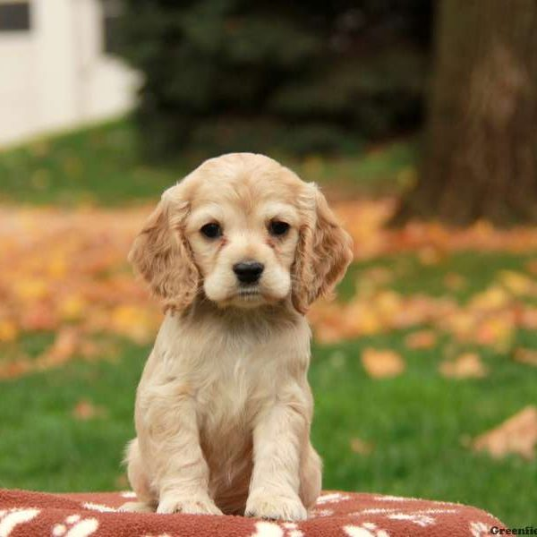 Cocker spaniel puppies for sale greenfield puppies cocker spaniel puppies for sale voltagebd Image collections