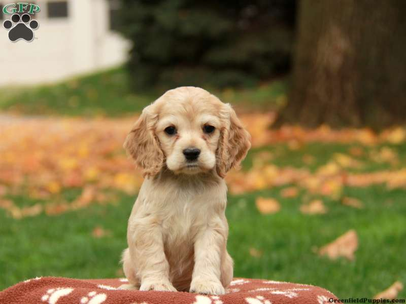 Cocker Spaniel Puppies For Sale - Cocker Spaniel Breed Info