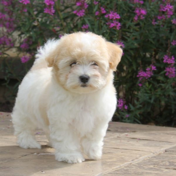 puppies for sale in delaware coton de tulear puppies for sale greenfield puppies 530