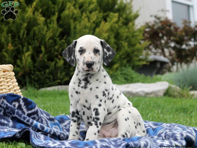 Dalmatian Puppies For Sale Dalmatian Breed Profile Greenfield