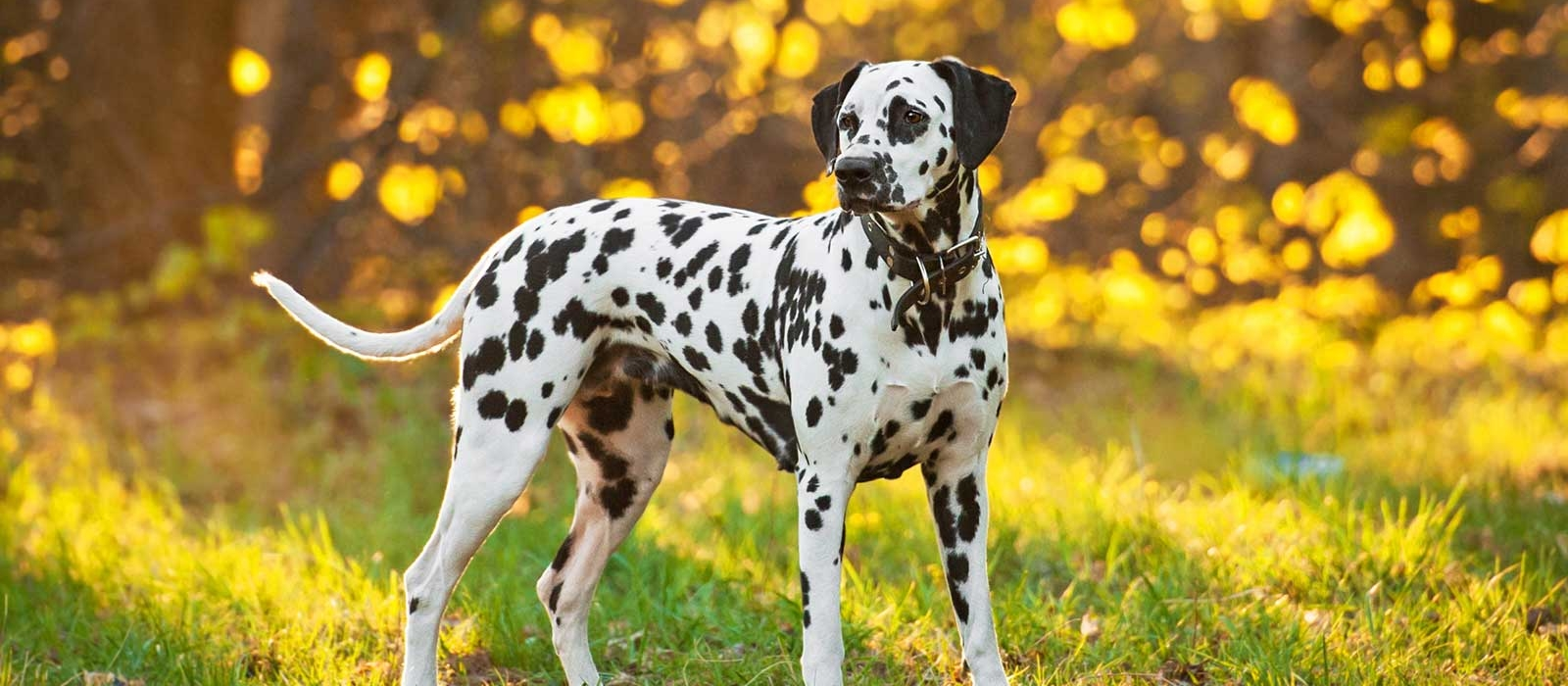 Dalmatian Puppies For Sale - Dalmatian Breed Profile | Greenfield
