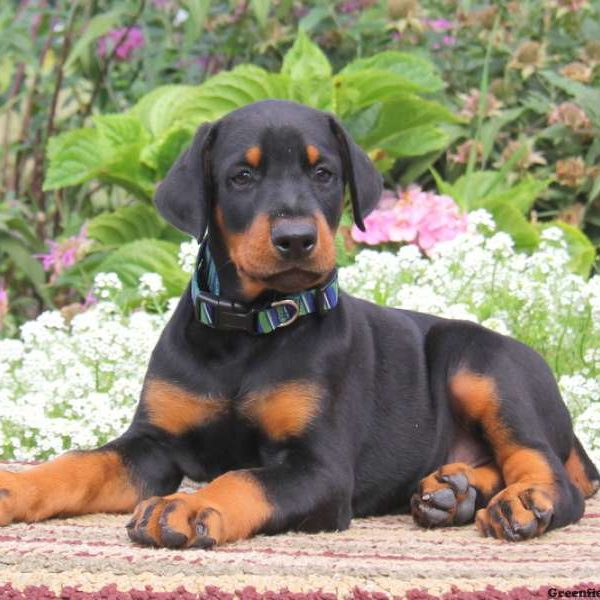 Doberman pinscher pug mix