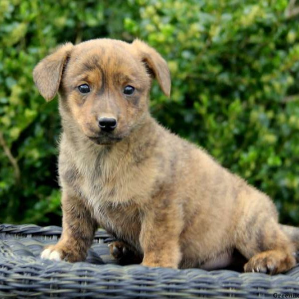 Dorgi Puppies For Sale - Dorgi Breed Profile | Greenfield ...