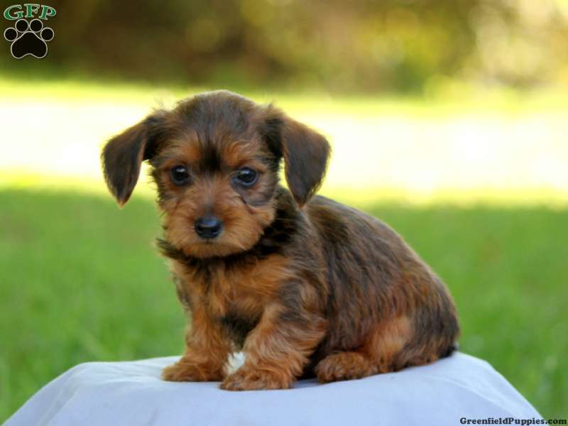 Dorkie Puppies For Sale | Dorkie Dog Breed Profile ...