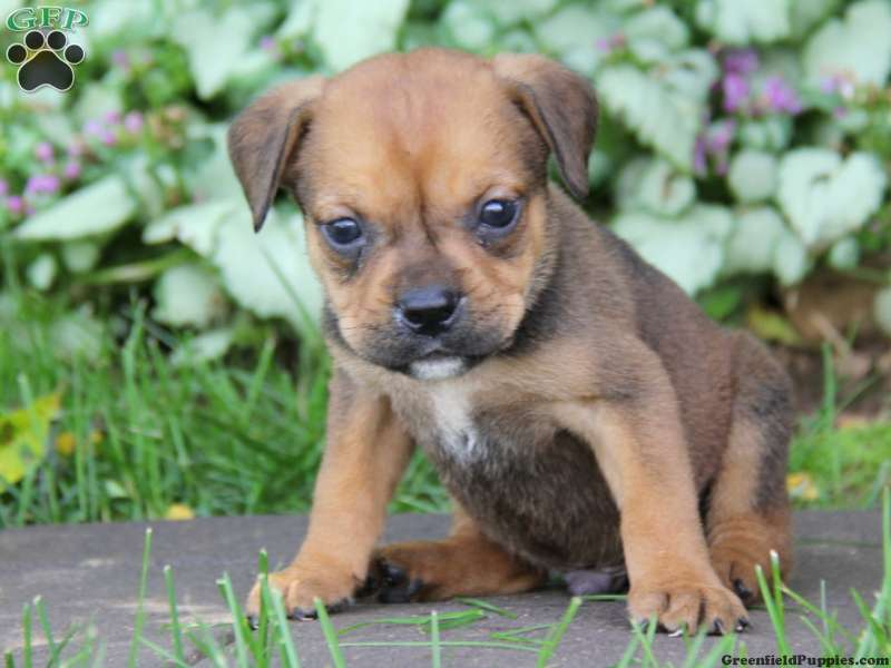 bullweiler puppies for sale