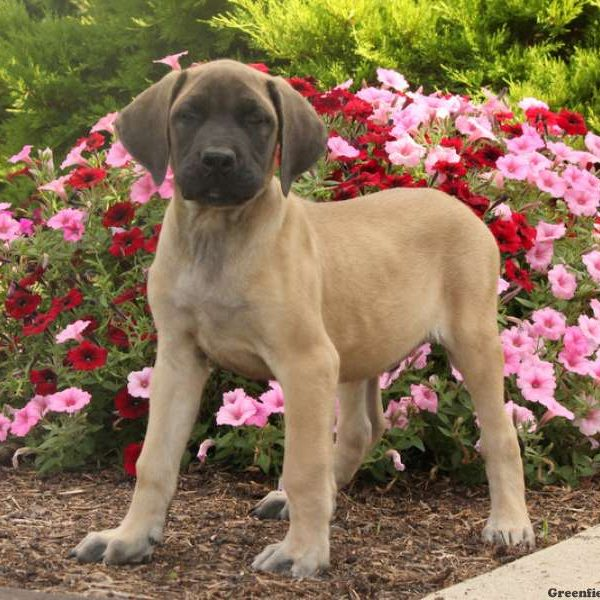 English Mastiff Mix Puppy