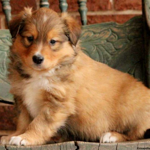 English Shepherd Puppies for Sale | Greenfield Puppies