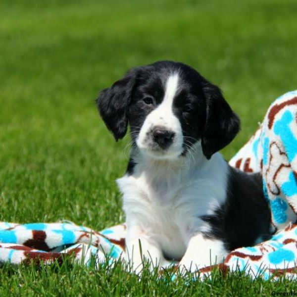 English Springer Spaniel Mix