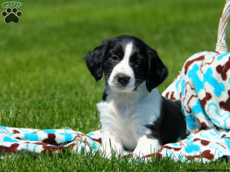 english springer spaniel mix puppies for sale